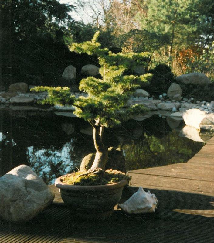 Bodhi Baum Japanische Gärten Zengärten Feng Shui
